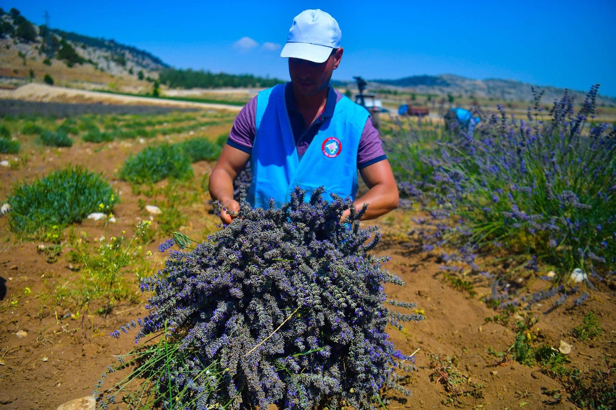 Isparta Lavantası'nda hasat zamanı 2021